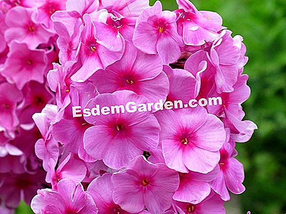 Phlox putos 'Amazing Grace'