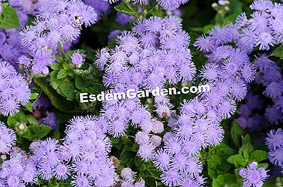 Agerate, Ageratum Mexikóból