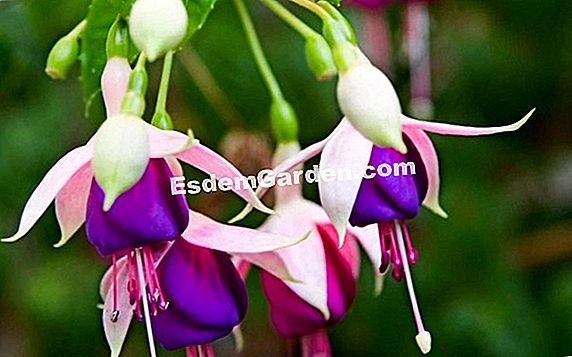 Royal Fuchsia Reitzii, 소박한 등산 fuschia