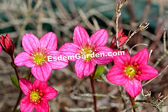 """Arends Saxifrage"", ""Fox Saxifrage"""