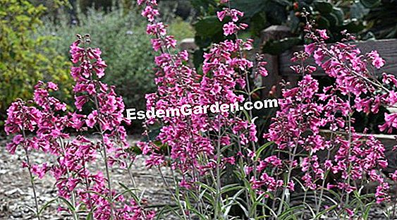 Penstemon 꽃과 Strobilanthe