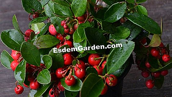 Wintergreen, Gaultheria