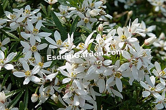 Choisya 'White Dazzler'