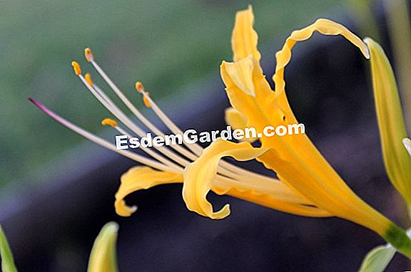 Yellow Lycoris, Yellow Pauk ljiljan