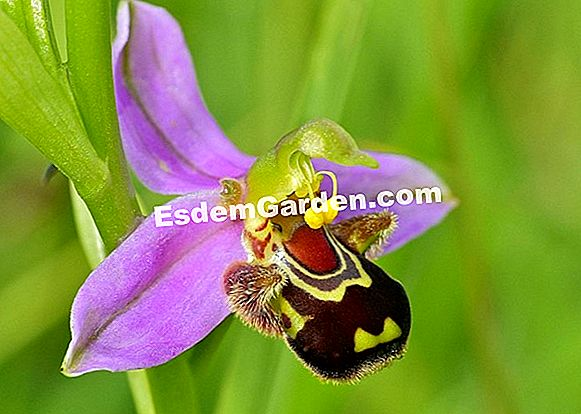 Bee Orchidea, Bee Ophrys