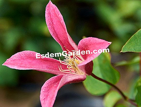 Clematis of Texas, Clematis texensis