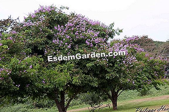 A Lagerstroemia