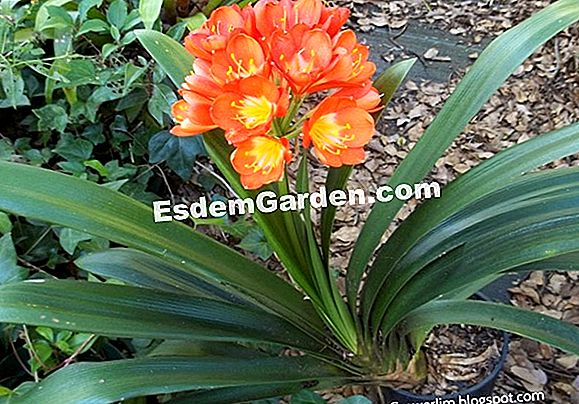 Clivia bloom 다시
