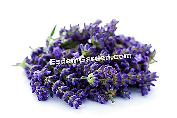 라벤더 officinale (lavandula angustifolia)의 사단