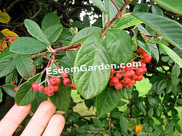 Parney's cotoneaster, Milky Cotoneaster