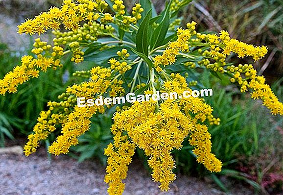 """Giant Solidago"", ""Giant Goldenrod"", ""Giant Solidage"""