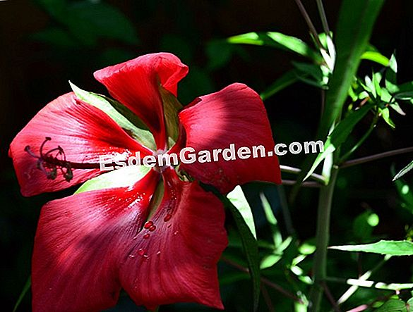"""Texas Star"", ""Scarlet Hibiscus"""