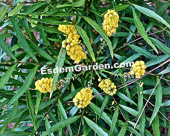 Mahonia eurybracteata 'Soft Caress': รายการโปรด