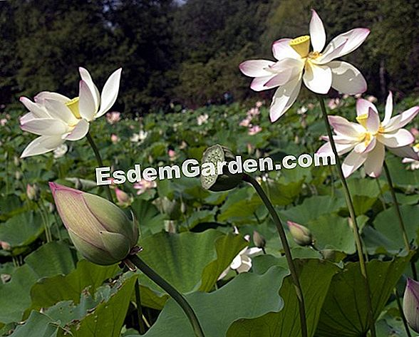 Lotus, Nelumbo nucifera